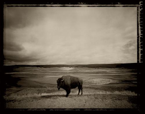 05-9-15-05-1tl-2-year-old-buffalo-female-hayden-valley-yellowstone1