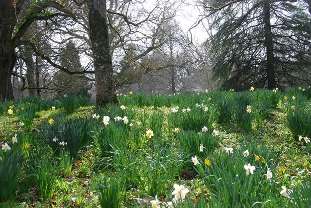 daffodils_blarney_ireland